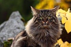Noruego Forest Cat Imágenes de archivo libres de regalías