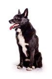 Norueguês Buhund Imagens de Stock