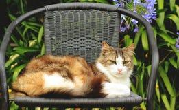 Norueguês Forest Cat Imagem de Stock