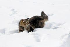 Norvégien Forest Cat Images libres de droits