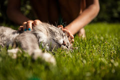 Norvégien Forest Cat Image stock