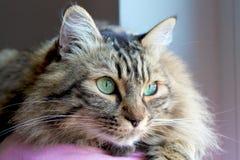 Norv?gien Cat Portrait photographie stock libre de droits