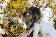 Norvegese Forest Cat Fotografia Stock