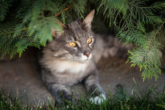 Norvegese Forest Cat Fotografie Stock