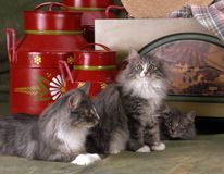 Norvegian猫 库存图片