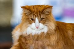 Norvegian forest cat portrait. Looking at you Royalty Free Stock Images