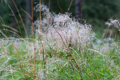 Norway. Dew on the plants on Mount Flay. Royalty Free Stock Images