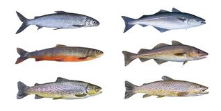 Norway fish set. Whitefish, arctic char, brook brown trout, pollock fish, coalfish, saithe, cod fish. Isolated on white background stock photography