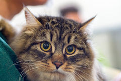 Norway forest cat close up portrait Stock Photography
