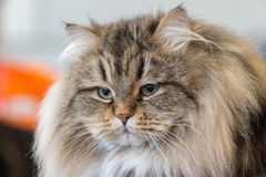 Norway forest cat close up portrait Stock Photo
