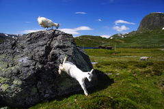 Norway - Goats Stock Image