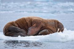Landscape nature walrus on an ice floe of Spitsbergen Longyearbyen Svalbard arctic winter sunshine day stock photography
