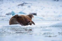Landscape nature walrus on an ice floe of Spitsbergen Longyearbyen Svalbard arctic winter sunshine day. Norway landscape nature walrus on an ice floe of royalty free stock photos