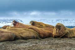 Norway landscape nature walrus on an ice floe of Spitsbergen Longyearbyen Svalbard arctic winter polar sunshine day sky. The walrus is a marine mammal, the only royalty free stock photos