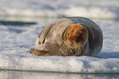 Norway landscape nature walrus on an ice floe of Spitsbergen Longyearbyen Svalbard arctic winter polar sunshine day sky. The walrus is a marine mammal, the only royalty free stock image
