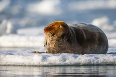 Norway landscape nature walrus on an ice floe of Spitsbergen Longyearbyen Svalbard arctic winter polar sunshine day sky. The walrus is a marine mammal, the only stock photos