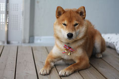 Norway 17. mai shiba inu national day flag Stock Photos
