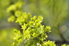 Norway Maple. Spring Norway Maple Flowers in Stockholm, Sweden stock image