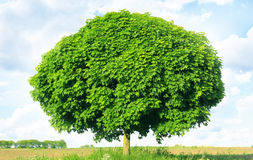 Norway maple(Acer platanoides) Stock Image