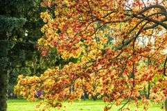 Norway maple Acer platanoides garden form with maroon leaves `Schwedleri`. In spring stock photos