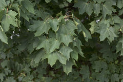 Norway Maple (Acer platanoides). /(Spitzahorn) shown with foliage in Bavaria Royalty Free Stock Photo