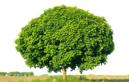 Norway maple(Acer platanoides) Royalty Free Stock Photography