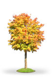 Norway maple in autumn. Isolated on white Stock Image