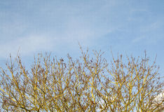 Norway Maple and blue sky Stock Photography