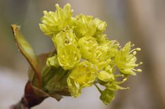 Norway Maple flower - Acer platanoides Stock Images
