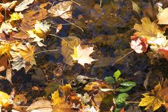 Norway maple leaf floating in creek water. A yellow norway maple leaf floats among other leaves in a creek of water Stock Photography