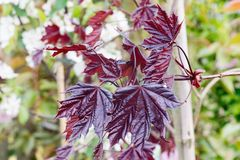 Norway maple Royal Red leaves Stock Photo
