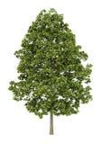 Norway maple tree isolated on white Royalty Free Stock Photos