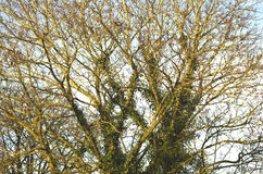 Norway Maple in winter Royalty Free Stock Photos