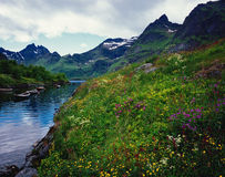 Norway Mountain Lake with Boats. Colorful wildflower meadow and lake boats surrounded by Norwegian mountains in Norway's Lofoten Islands Royalty Free Stock Photos