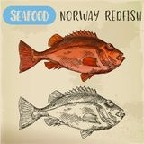 Norway redfish sketch for shop signboard Royalty Free Stock Photos