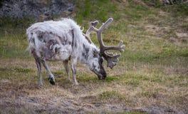Norway reindeer, grazing Royalty Free Stock Image