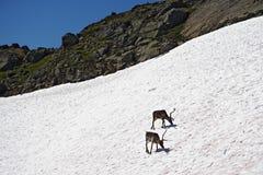 Norway reindeers Stock Images