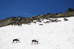 Norway - reindeers  Stock Images