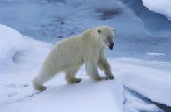 Norway Spitsbergen Polar Bear in snow stock photo