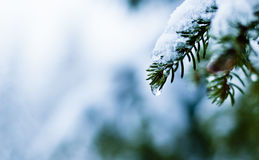 Norway Spruce closeup covered in snow Picea abies Royalty Free Stock Photo