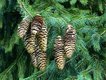 Free Norway Spruce Cones On A Fir Tree, Royalty Free Stock Photography - 104253227