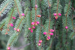 Norway spruce. Flowering cones on a Norway spruce stock photos