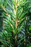 Norway spruce leaves macro shot. stock image