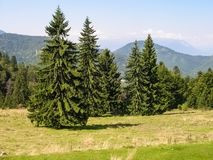 Spruce trees Picea abies in summer. The Norway Spruce Picea abies in the Carpathian Mountains, Romania during summer time royalty free stock photos