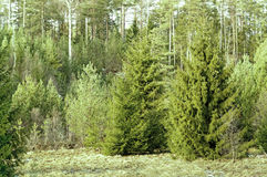 Norway spruce, Picea abies. Forest with Norway spruce (Picea abies), evergreen conifer, famous for its use as a Christmas tree. Evergreen trees. Grass covered royalty free stock photos