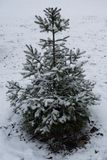 Norway spruce sapling covered with snow stock images