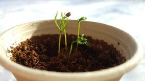 Norway spruce seedlings Stock Photo