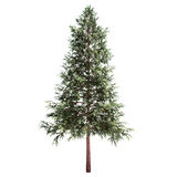 Norway Spruce Tree Isolated. On white Royalty Free Stock Photo