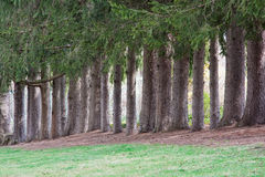 Norway Spruce Trees Royalty Free Stock Photography