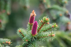 Norway spruce Stock Photography